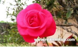 maria.b..meirino.petalos.rosa